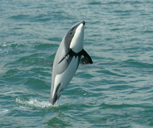 Maui Dolphins - Endangered Marine Mammals endemic to New Zealand